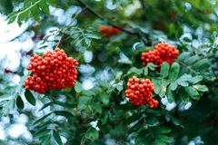 Ripe berries of mountain ash, grow on a tree, autumn red berries, close-up, vintage style in a park. Ripe berries mountain ash, grow on a tree, autumn red Royalty Free Stock Photo