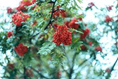 Ripe berries of mountain ash, grow on a tree, autumn red berries, close-up, vintage style in a park. Ripe berries mountain ash, grow on a tree, autumn red Stock Photos