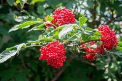 Free Ripe Berries Of Elderberry Red Sambucus Racemosa On The Branch Against Green Foliage Stock Photo - 152117890