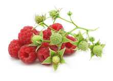 Ripe berries of raspberry with branch Royalty Free Stock Photography