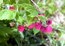 Ripe berries red raspberry closeup Royalty Free Stock Photo
