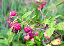 Ripe berries red raspberry closeup Stock Images