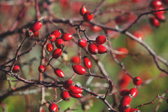 Ripe berries rosehip on branches Royalty Free Stock Photo