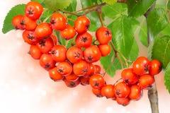 Ripe berries rowan Stock Photo