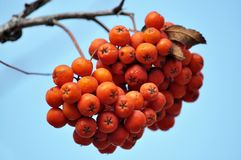 Ripe berries rowan red. Against the background of a blue sky Royalty Free Stock Images