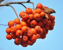 Ripe berries rowan red. Against the background of a blue sky royalty free stock photos
