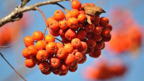 Ripe berries rowan red. Against the background of a blue sky stock images