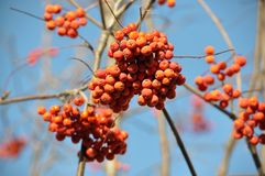 Ripe berries rowan red. Against the background of a blue sky royalty free stock photo