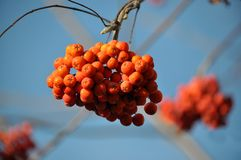 Ripe berries rowan red. Against the background of a blue sky stock photography