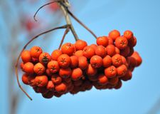 Ripe berries rowan red. Against the background of a blue sky stock image