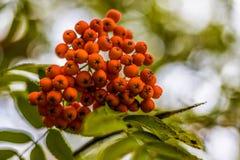 Ripe berries on the rowan tree on autumn Stock Images