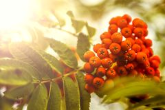 Ripe berries on the rowan tree on autumn Royalty Free Stock Photo