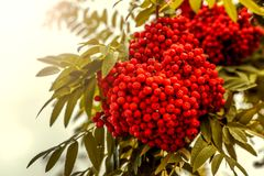 Ripe berries on the rowan tree on autumn.  Royalty Free Stock Photos