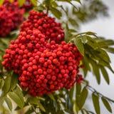 Ripe berries on the rowan tree on autumn.  Royalty Free Stock Image