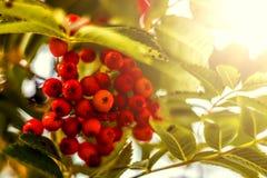 Ripe berries on the rowan tree on autumn.  Stock Photo