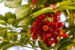 Ripe berries on the rowan tree on autumn.  Royalty Free Stock Photography