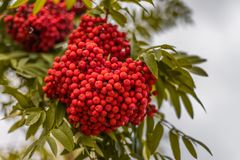 Ripe berries on the rowan tree on autumn.  Royalty Free Stock Images
