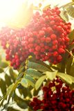 Ripe berries on the rowan tree on autumn Royalty Free Stock Images