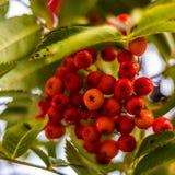 Ripe berries on the rowan tree on autumn Stock Photos