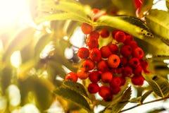 Ripe berries on the rowan tree on autumn Royalty Free Stock Photos