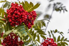 Ripe berries on the rowan tree on autumn Royalty Free Stock Photography