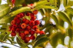 Ripe berries on the rowan tree on autumn Stock Image