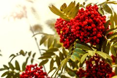 Ripe berries on the rowan tree on autumn Stock Photography