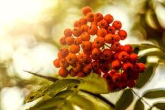 Ripe berries on the rowan tree on autumn Royalty Free Stock Image