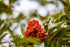 Ripe berries on the rowan tree on autumn.  Stock Image