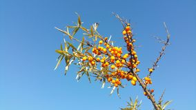 Ripe berries of sea buckthorn Royalty Free Stock Photography