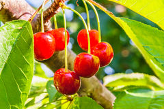 Ripe berries of a sweet cherry on a branch. Ripe, red fruit cherries on a branch in a sunny summer day closeup Stock Images