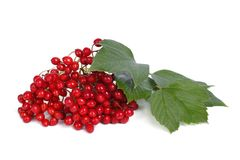 Ripe berries of viburnum isolated on white Royalty Free Stock Photography