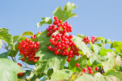 Ripe berries on viburnum plant Royalty Free Stock Photography