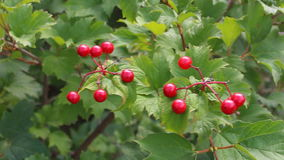Ripe berries of viburnum stock video footage