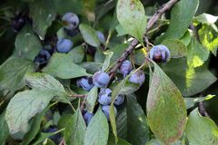 Wild plum. Ripe berries of wild plum on branches. Early autumn Royalty Free Stock Images