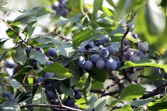 Wild plum. Ripe berries of wild plum on branches. Early autumn stock photo