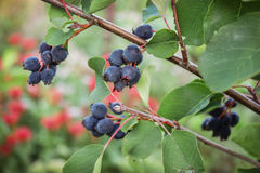 Ripe berries wild shadberry on a branch Stock Images