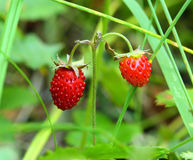 Ripe berries of wild strawberry - macro Stock Image