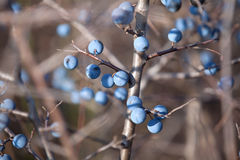 Ripe berry blackthorn. Ripe blackthorn berries on a branch by the sun Stock Image