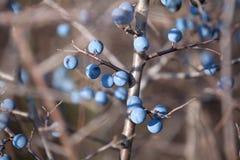 Ripe berry blackthorn Stock Image