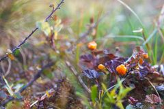 Ripe berry cloudberry Stock Images