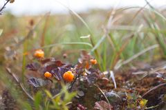 Ripe berry cloudberry. Is growing in tundra Stock Photo