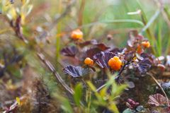 Ripe berry cloudberry Royalty Free Stock Photography