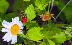Ripe berry of forest wild strawberry Stock Photos