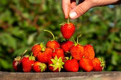 A ripe berry in the hands for styling to the very top of other strawberry berries, a large ripe red strawberry lays a slide, the b. Ackground is blurred stock image