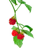 Ripe berry of a raspberry on a branch. Close up on a white background Stock Images