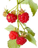 Ripe berry of a raspberry on a branch. Close up on a white background Stock Photo