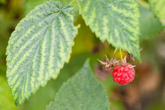 Ripe berry of red raspberry on bush close up. In summer season in Krasnodar region of Russia Royalty Free Stock Images