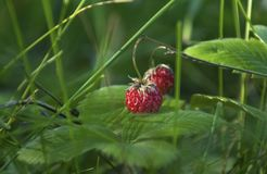 Ripe berry - strawberries in the forest royalty free stock images