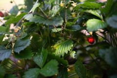 Strawberry plant. Wild stawberry bushes. Strawberries in growth at garden. Ripe berries and foliage strawberry stock image